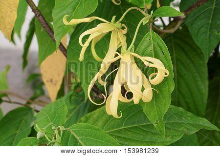 Ylang flowers on tree Thailand (Cananga odorata)