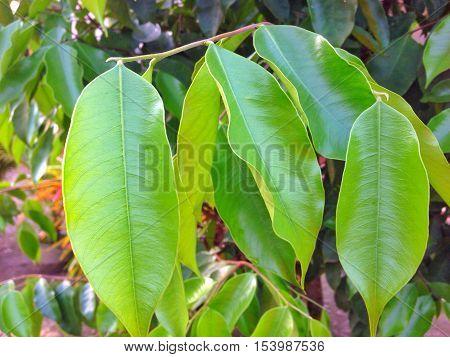 Agarwood (Aquilaria malaccensis) leaves. Sebamban Kalimantan Selatan Indonesia
