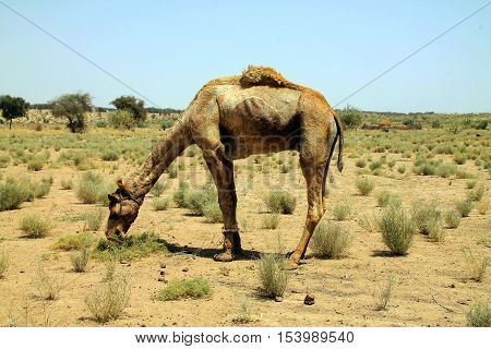 Camel Eating Grass In The Indian Desert.