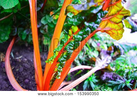 Healthy Organic Garden Bright Lights Swiss Chard Colorful Stalks and green leaf background