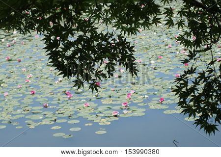 Japanese maple and lotus on pool at Ryoanji temple,Kyoto,Japan.