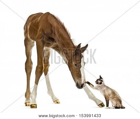 Foal playing with a cat isolated on white