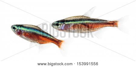 Two Cardinalis fish or cardinal tetra isolated on white
