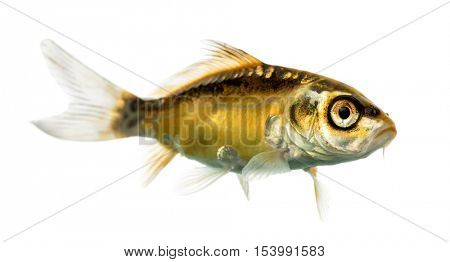 Side view of a yellow koi isolated on white