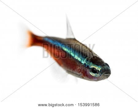Cardinalis fish or cardinal tetra isolated on white