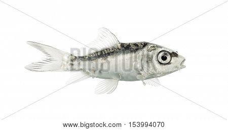 Side view of a grey koi mouth open isolated on white
