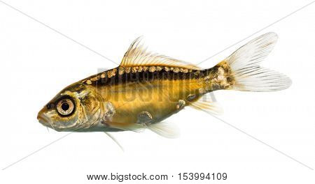 Side view of a yellow koi looking down isolated on white