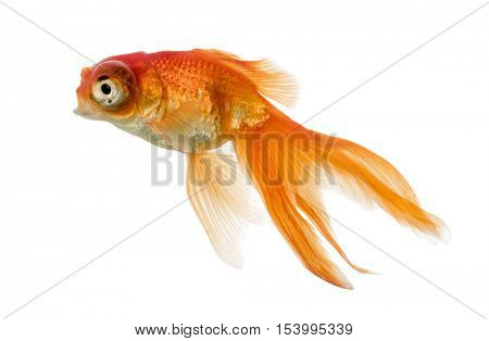 Side view of a Goldfish  swimming islolated on white