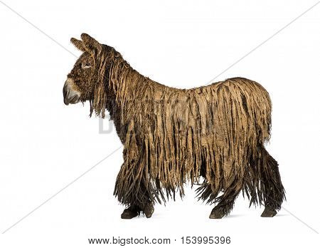 Side view of a Poitou donkey with a rasta coat walking isolated on white