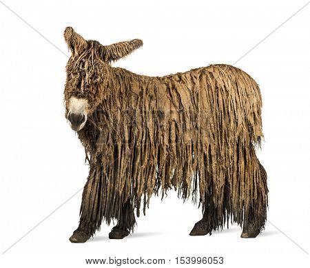 Side view of a Poitou donkey with a rasta coat isolated on white