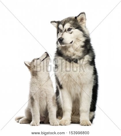 Alaskan Malamute puppies and his mum sitting isolated on white