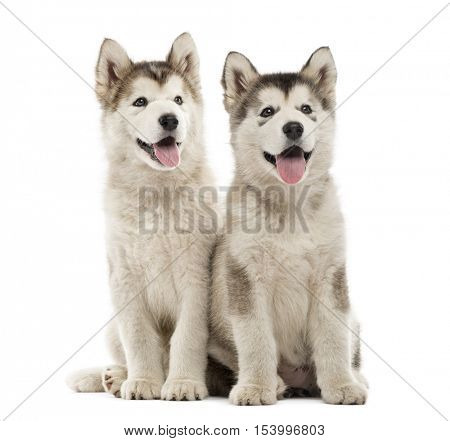 Alaskan Malamute puppies sitting and panting isolated on white