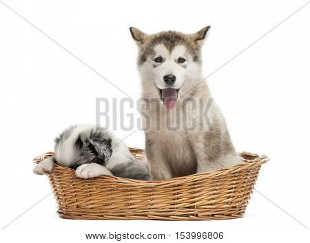Alaskan Malamute and crossbreed puppies sitting in a basket isolated on white
