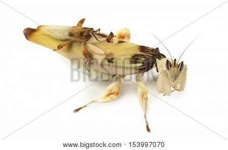 Adult male et female orchid mantis - Hymenopus coronatus, isolated on white