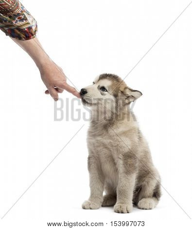 Alaskan Malamute puppy sucking a finger isolated on white