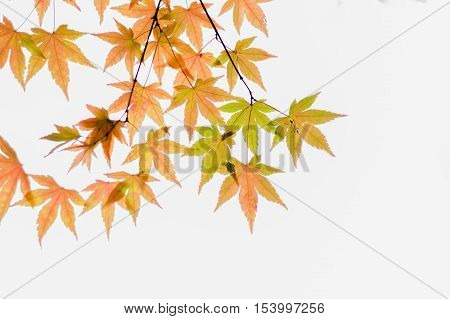 Bright orange leaves hanging from a tree during fall.