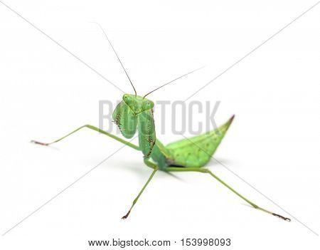 Male praying mantis - Macromantis sp, isolated on white