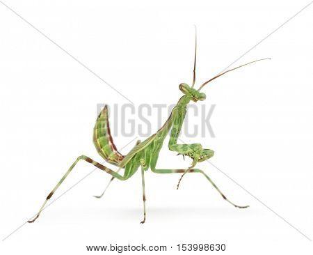 Male African Pinstripe Mantis - Miomantis binotata, isolated on white