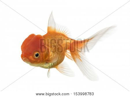 Side view of a Lion's head goldfish swimming isolated on white