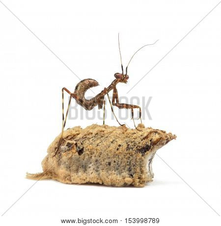 Young African Pinstripe Mantis and an ootheca, isolated on white