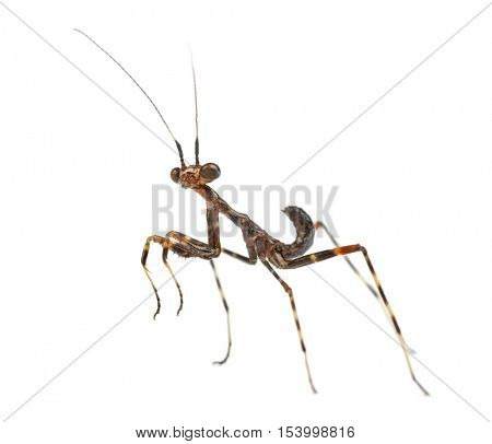 Young African Pinstripe Mantis -  Miomantis binotata, isolated on white