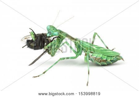 praying mantis, Female African Pinstripe Mantis or Miomantis binotata eating a fly isolated on white