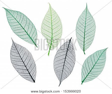 Mulberry leaves skeletons isolated on a white background
