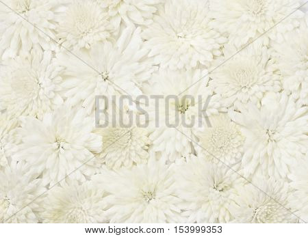 Beautiful white aster flowers for holiday ackground