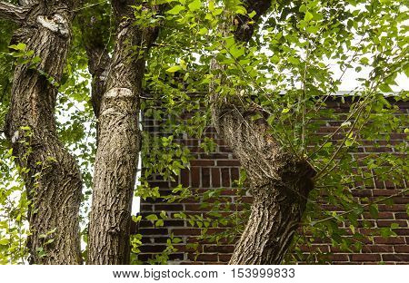 Old tree with many branches and leaves hanging over roof of home with brick wall