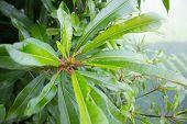 Green Leaves Suicide tree Pong-pong Othalanga at Suanluang RAMA IX poster