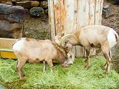 Two bighorn sheep butting heads at a zoo poster