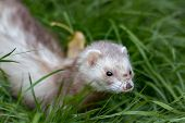 Cute ferret with muddy nose in grass poster