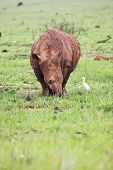 A young rhinoceros feeding on fresh green grass in the Rietvlei Dam nature reserve in South Africa. It's a rainy day and the Rhino is covered in mud to ward of flies and other pests and is accompanied by a white Egret (bird) – Focus on Rhino grass in  poster