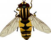 A vector drawing of a flower fly. poster