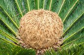 Cycas Revoluta plant. Also known as Sagu de Jardim in Brazil. Flower with center more evolved. Golden crown in the center of the plant. poster