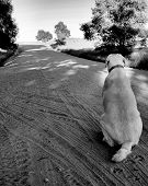 Labrador retriever is sitting in the middle of a dirt country road, waiting. poster