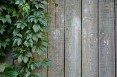 Green leaves of Virginia creeper on background of shabby painted wooden boards poster