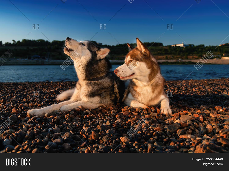 Siberian Husky Howling Image Photo Free Trial Bigstock