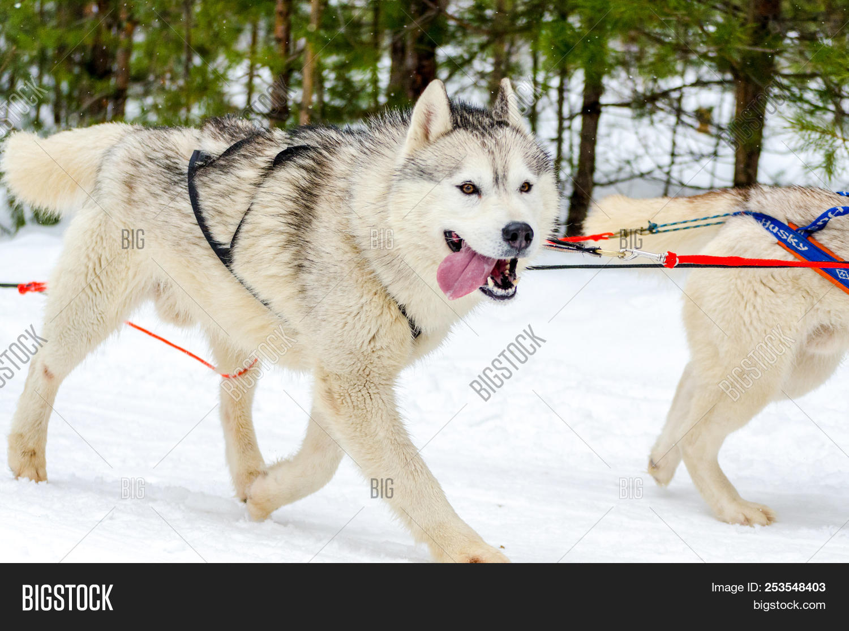 Sled Dog Siberian Image Photo Free Trial Bigstock