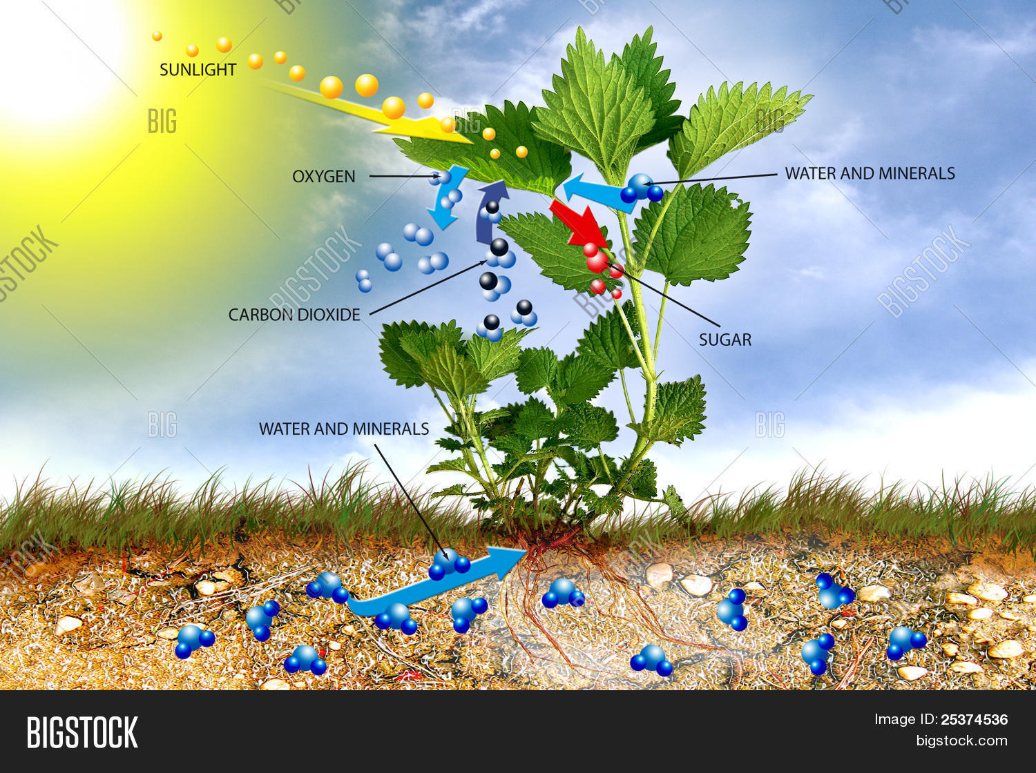 an analysis of the photosynthesis in plant life