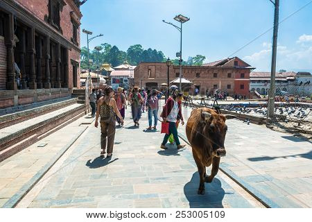 The Street Leading To The Pashupatinath Temple , Walking The Cow 13 April 2018, Kathmandu, Nepal.