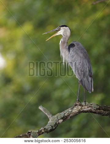 Great Blue Heron (ardea Herodias) Perched On A Dead Tree Branch Overlooking A River - Pinery Provinc
