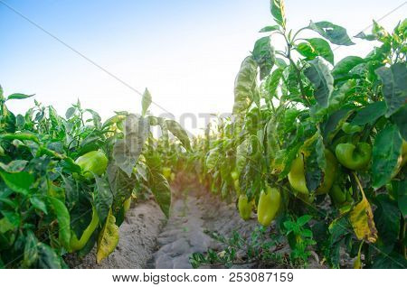 Pepper Disease Is Caused By The Phytophthora Infestans Virus. Agriculture, Farming, Crops. Disease O