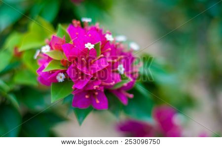 Bougainvillea or paper flower on its branch, showing colorful petal which is dark pink, white, green and yellow, planted on the side of road poster
