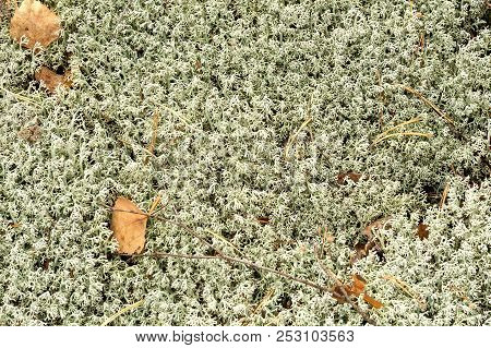 Cladonia Stellaris, Mosses And Lichens Of Europe. Ground Cover Lichen Growing In Coniferous Forests