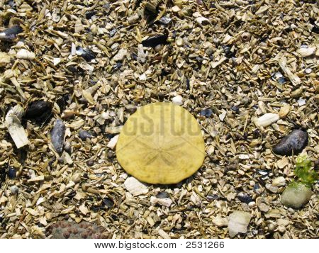 Sand Dollar On Bed Of Crushed Sea Shells