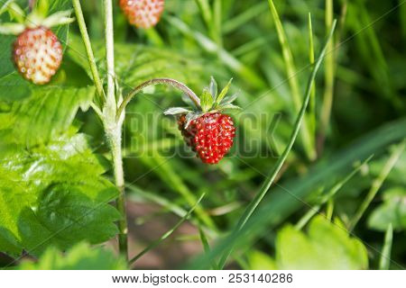 Ripe Wild Forest Strawberries And Some Flowers On Strawberry Plant