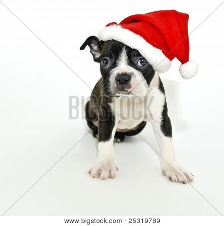 Boston Terrier Wearing A Santa Hat