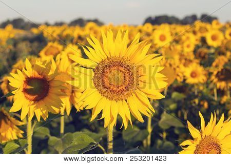 Sunflower flower in a field illuminated by the morning sun