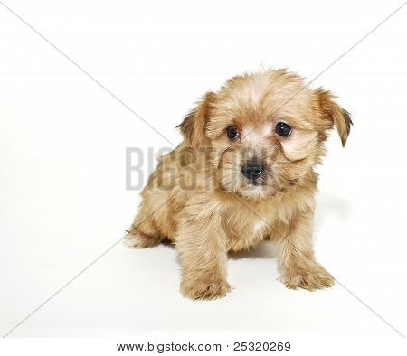 Sweet Morkie Puppy